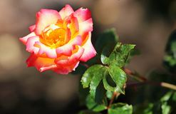 Rose rouge de jaune Images libres de droits