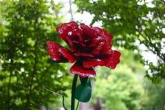 Rose rouge de Lancaster avec le fond brouillé images stock