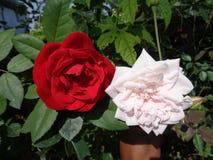 Rose rouge et blanche Photos libres de droits