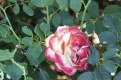Rose rouge et jaune rosâtre Photo libre de droits