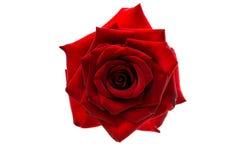 Rose rouge foncé d'isolement Photos stock
