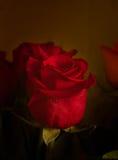 Rose rouge foncé dans le rétro style Photos stock