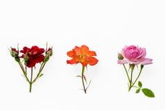 Rose rouge, rose et orange de thé d'isolement sur le fond blanc Photos libres de droits