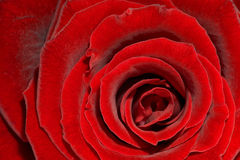 Rose rouge - Rose par coeur Photographie stock