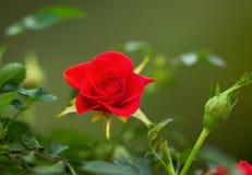 Rose rouge sauvage pendant le printemps Image stock