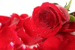 Rose rouge se trouvant parmi des pétales avec des baisses de rosée photographie stock libre de droits