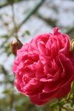 Rose rouge : Signe de l'amour Photographie stock