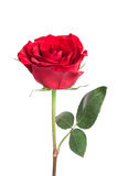 Rose rouge simple images stock
