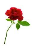 Rose rouge simple Photos libres de droits