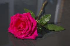 Rose rouge simple avec des baisses de l'eau de pluie Photo stock