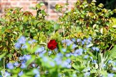 Rose rouge simple dans le jardin avec des myosotis des marais dans l'avant images stock