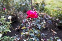Rose rouge simple pour le jour du ` s de Valentine Photos libres de droits