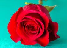 Rose rouge simple sur un Tableau bleu photographie stock libre de droits
