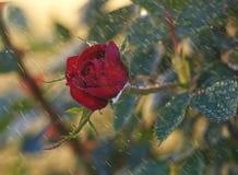 Rose rouge sous la pluie photo stock