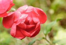 Rose rouge sur la branche dans le jardin Image stock