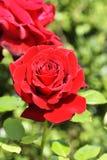 Rose rouge sur la branche dans le jardin photos stock