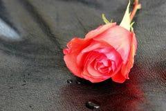 Rose rouge sur le cuir noir Photos libres de droits