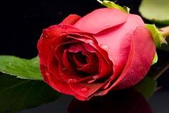 Rose rouge sur le fond noir image libre de droits