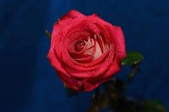Rose rouge sur une tige Image libre de droits