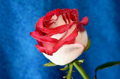 Rose rouge sur une tige Photos stock