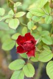 Rose Royal Red stock foto