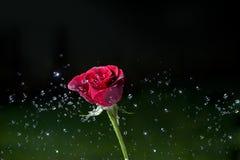 rose rozpryskanego Obrazy Royalty Free