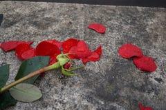 Rose ruinée de rouge photographie stock