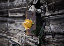 Yellow Rose on the rustic door  Royalty Free Stock Photography