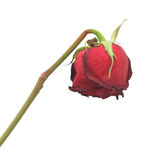 Rose sèche, d'isolement Images libres de droits