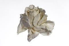 Rose sèche d'isolement - image courante Photos stock