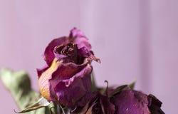Rose sèche de fleur sèche photographie stock libre de droits