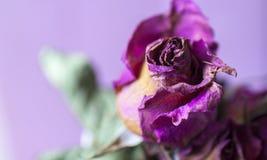 Rose sèche de fleur sèche images libres de droits