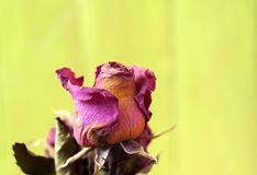 Rose sèche de fleur sèche image libre de droits