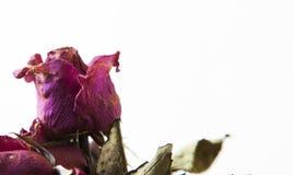 Rose sèche de fleur sèche images stock
