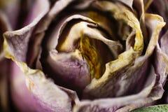 Rose sèche de pourpre Macro closeup Photos stock