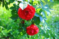 Rose s'élevante de rouge Photographie stock