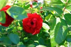 Rose s'élevante de rouge Image libre de droits