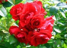 Rose s'élevante de rouge Images stock