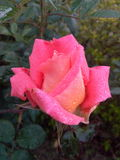 Rose It& x27; s bastante Imagen de archivo