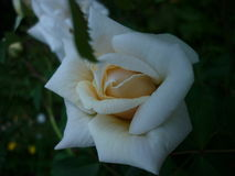 Rose. It`s very beautiful white rose. in fact it is a tea rose Stock Photography