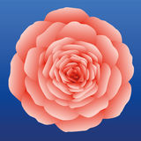 Rose Salmon Pink Imagen de archivo