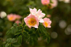 Rose salvaje Imagen de archivo