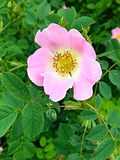 Rose salvaje Imagenes de archivo
