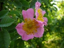 Rose salvaje Fotografía de archivo libre de regalías