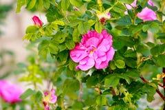 Rose salvaje rosada Fotos de archivo libres de regalías