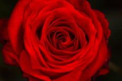 rose sammet för black Arkivfoto