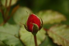 rose samotny Fotografia Royalty Free