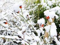 Rose sans fleurs de pétales couvertes par de fond romantique doux conceptuel de neige avec la profondeur du champ Images stock