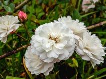 Rose sauvage Photo libre de droits