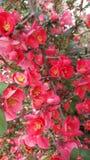 Rose sauvage Images libres de droits